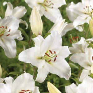 Liliom oriental hybrid Siberia