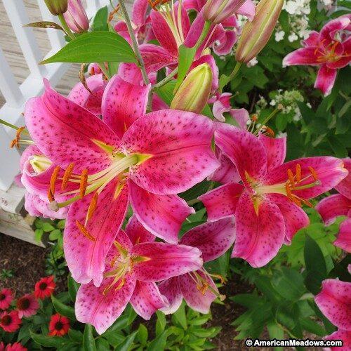 Liliom oriental hybrid Star Gazer